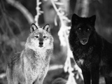 Grey Wolves Showing Fur Colour Variation, (Canis Lupus) Fotografie-Druck von Tom Vezo