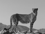 Portrait of Standing Cheetah, Tsaobis Leopard Park, Namibia Photographic Print by Tony Heald