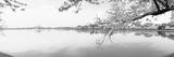 Ciliegi in fiore sulla riva del lago, Washington DC, USA Stampa fotografica