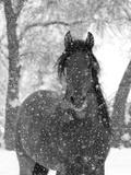 Etalon andalou bai sous la neige, Longmont, Colorado, Etats-Unis Reproduction photographique par Carol Walker