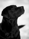 Black Labrador Retriever Looking Up Reproduction photographique Premium par Adriano Bacchella