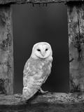 Barn Owl, in Old Farm Building Window, Scotland, UK Cairngorms National Park Reproduction photographique par Pete Cairns