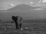 Elephant, Mt. Kilimanjaro, Masai Mara National Park, Kenya Fotografisk tryk af Peter Adams