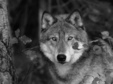 Grey Wolf Portrait, USA Fotoprint van Lynn M. Stone