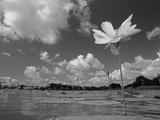 American Lotus, in Flower, Welder Wildlife Refuge, Rockport, Texas, USA Photographic Print by Rolf Nussbaumer