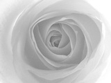 Rose Reproduction photographique par Nadia Isakova