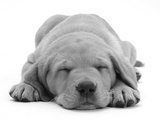 Domestic Labrador Puppy (Canis Familiaris) Sleeping Reproduction photographique par Jane Burton