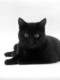 Domestic Cat, Young Black Male Reproduction photographique par Jane Burton