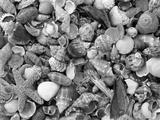 Mixed Sea Shells on Beach, Sarasata, Florida, USA Photographic Print by Lynn M. Stone