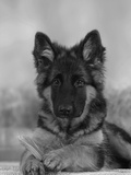 Domestic Dog, German Shepherd Alsatian Juvenile. 5 Months Old, with Rawhide Bone Reproduction photographique Premium par Petra Wegner