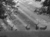 Deer in Morning Mist, Woburn Abbey Park, Woburn, Bedfordshire, England, United Kingdom, Europe Fotografisk trykk av Stuart Black