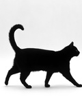 Domestic Cat, Black Short-Hair Male, Walking Profile Reproduction photographique par Jane Burton