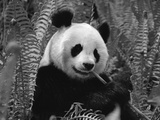Giant Panda Feeding, Qionglai Mtns, Sichuan, China Impressão fotográfica por Lynn M. Stone