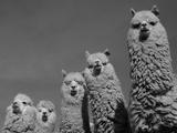 Alpacas, Andes, Ecuador Fotografisk tryk af Pete Oxford
