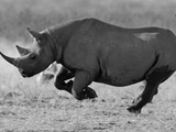Black Rhinoceros, Running, Namibia Photographic Print by Tony Heald