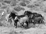 Group of Wild Horses, Cantering Across Sagebrush-Steppe, Adobe Town, Wyoming Toile tendue sur châssis par Carol Walker