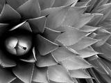 Pattern in Agave Cactus Fotografisk trykk av Adam Jones