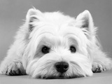 West Highland White Terrier Reproduction photographique par  Steimer