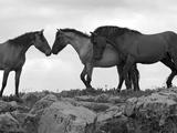 Mustang / Wild Horse Red Dun Stallion Sniffing Mare's Noses, Montana, USA Pryor Stampa fotografica di Carol Walker
