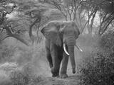 Loxodonta Africana, Lake Manyara National Park, Tanzania Fotografie-Druck von Ivan Vdovin