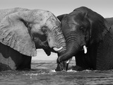 Two African Elephants Playing in River Chobe, Chobe National Park, Botswana Fotografisk tryk af Tony Heald