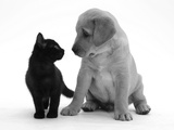 Black Domestic Kitten (Felis Catus) and Labrador Puppy (Canis Familiaris) Looking at Each Other Fotografisk tryk af Jane Burton