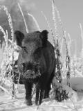 Wild Boar in Winter (Sus Scrofa), Europe Fotografie-Druck von  Reinhard