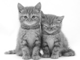 Two Ginger Domestic Kittens (Felis Catus) Reproduction photographique par Jane Burton