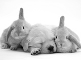 Golden Retriever Puppy Sleeping Between Two Young Sandy Lop Rabbits Impressão fotográfica por Jane Burton