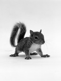 Baby Grey Squirrel, Portrait Reproduction photographique par Jane Burton