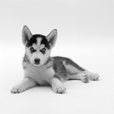 Blue-Eyed Siberian Husky Dog Puppy, 6 Weeks Old, Lying Down Reproduction photographique par Jane Burton