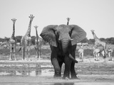 African Elephant, Warning Posture Display at Waterhole with Giraffe, Etosha National Park, Namibia Lámina fotográfica por Tony Heald