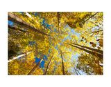 Aspens on the Canon Brook Trail Print by Michael Hudson