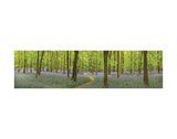 Bluebell Woods Panorama Posters by Michael Hudson