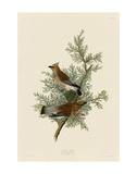 Cedar Bird Plakat af John James Audubon