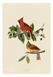 Cardinal Grosbeak Plakater af John James Audubon