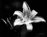 Liliácea de día Póster por Harold Silverman