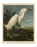 Snowy Heron or White Egret Print by John James Audubon