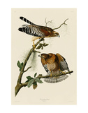 Red-Shouldered Hawk Plakater af John James Audubon