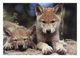 Louveteaux au printemps Posters par Art Wolfe