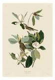 Warbling Flycatcher Plakater af John James Audubon