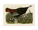 Wild Turkey II Art by John James Audubon
