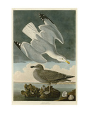 Herring Gull Posters par John James Audubon