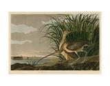 Long-Billed Curlew Plakater af John James Audubon