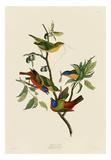 Painted Finch Prints by John James Audubon