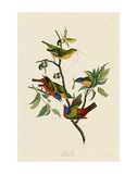 Painted Finch Prints by John James Audubon