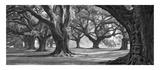 Oak Alley West Row Kunstdrucke von William Guion
