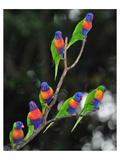 Australian Rainbow Lorikeets Art