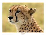 Portrait of a Cheetah Giclee-trykk av Martin Fowkes