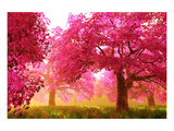 Japan Cherry Blossoms Garden Prints